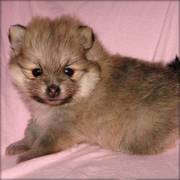 Cute and Blinking Pomeranian Puppies for free adoption