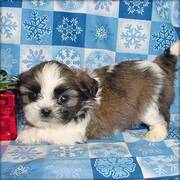 Shih Tzu Puppies for sweet homes
